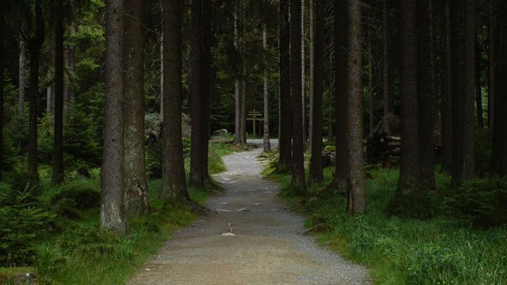 Walking track lined by trees in a dense pine forest or deep wooded park area. Lonely or adventurous atmosphere in the nature.